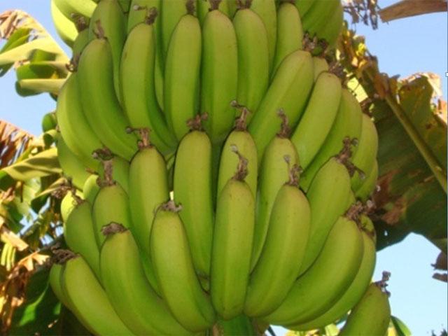 Pesquisa leva sabor da banana prata anã para Europa