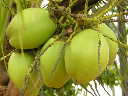 Tender-Coconut